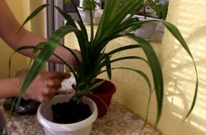 Винтовая пальма панданус: правила ухода и размножения в домашних условиях