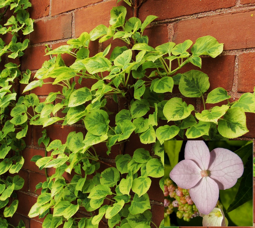 Декоративное растение — гортензия черешковая вьющаяся. Описание, сорта, правила выращивания и ухода