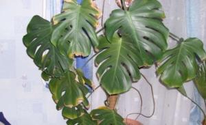 Почему желтеют листья у монстеры? Эффективные советы, как спасти растение