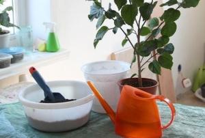 Зачем нужна и как проводить пересадку гибискуса в домашних условиях? Дальнейший уход за цветком