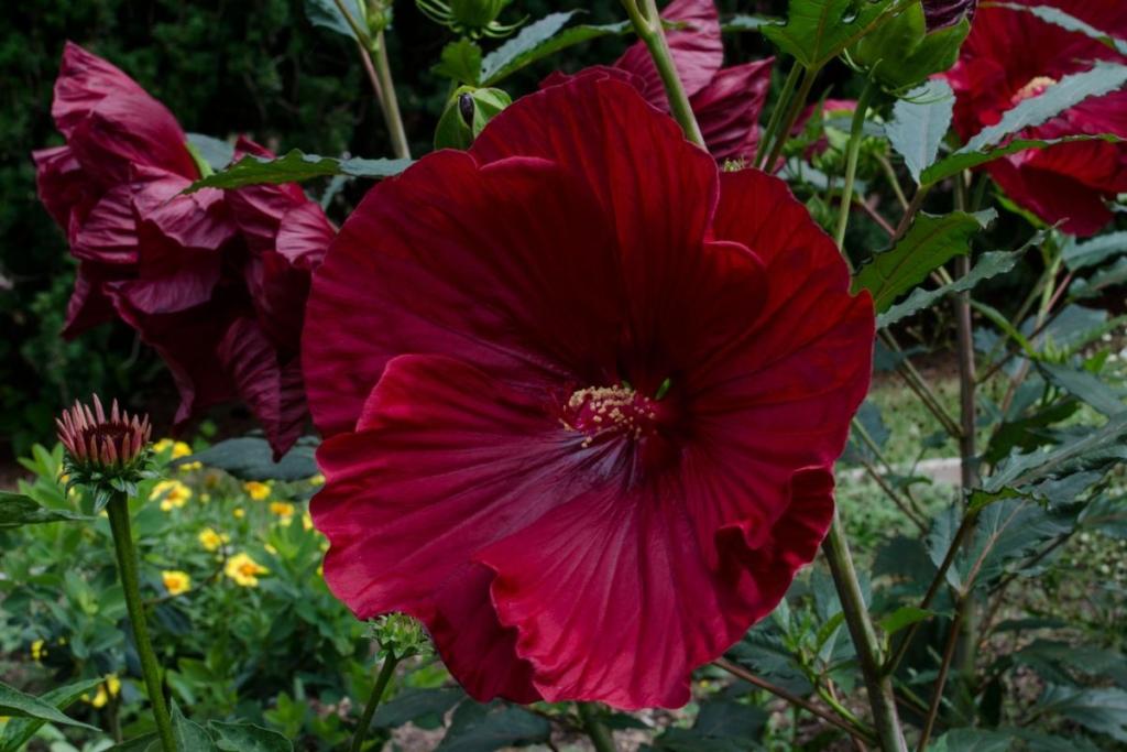Украшение садового участка — травянистый гибискус: сорта и правила выращивания
