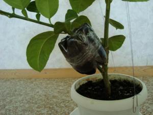 Секреты размножения фикуса каучуконосного: как укоренить разные части растения?