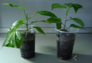Секреты разведения гибискуса: какими способами он размножается и как получить новое растение?