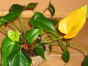 Почему у антуриума желтеют и сохнут листья? Советы по спасению растения