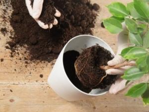 Требования к земле при выращивании фикуса. Как приготовить грунт самостоятельно?