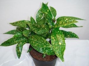 Экзотические золотые растения рода Аукуба: уход в  домашних условиях, нюансы выращивания, виды