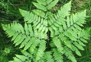 Растение, применяемое в кулинарии и медицине — папоротник. Полезные и лечебные свойства, противопоказания