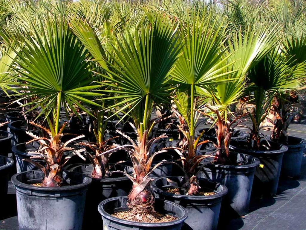 Экзотические пальмы рода Трахикарпус: уход за растением, фото с описанием видов и сортов