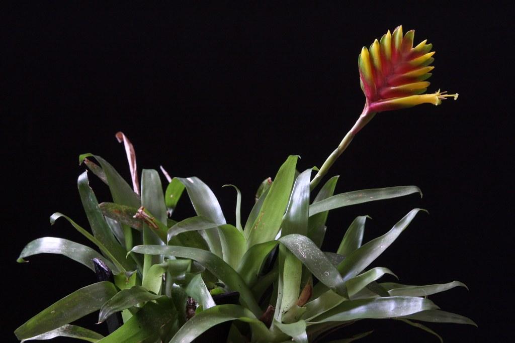 Необычный цветок с ярким цветоносом — вриезия: описание видов, правила ухода