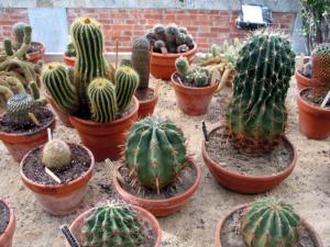 Что требуется кактусу в домашних условиях? Какие виды этих растений существуют?