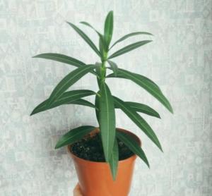 Красавец олеандр: описание цветка и правила ухода в домашних условиях