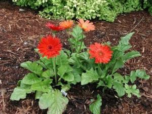 Теплолюбивое растение — гербера: как вырастить в домашних условиях и в открытом грунте?