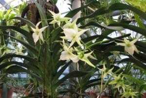 Тропические орхидеи ангрекум: характеристика растения и уход в домашних условиях