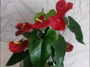 Тропический антуриум Андре красного или иного цвета: характеристика и уход за растением