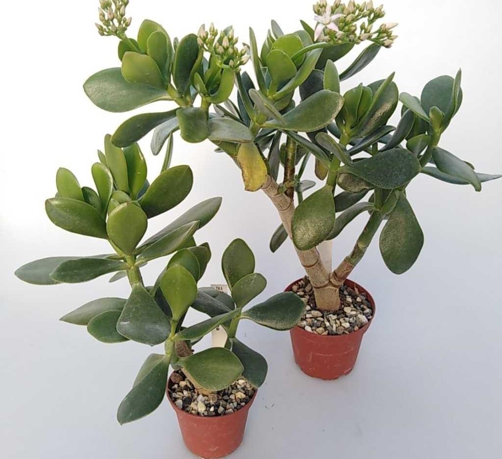 Денежное дерево или крассула: правила выращивания суккулента в домашних условиях и виды культуры