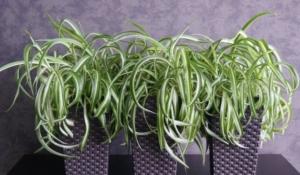 Неприхотливый хлорофитум кудрявый. Все о выращивании цветка и уходе за ним