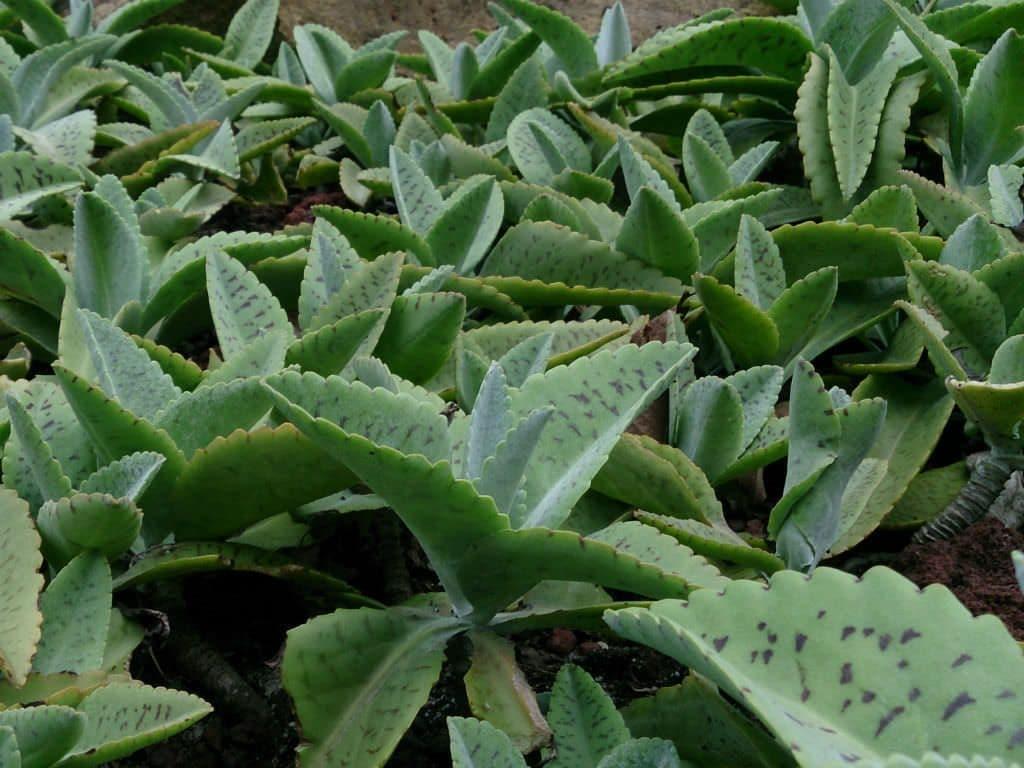 Чем полезен каланхоэ: применение лечебных свойств растения в медицине и косметологии. Кому может навредить?
