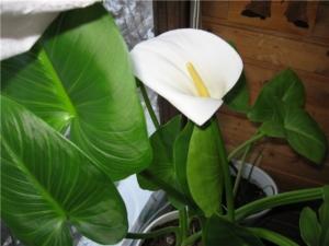 Восхитительный цветок калла: выращивание и уход в домашних условиях
