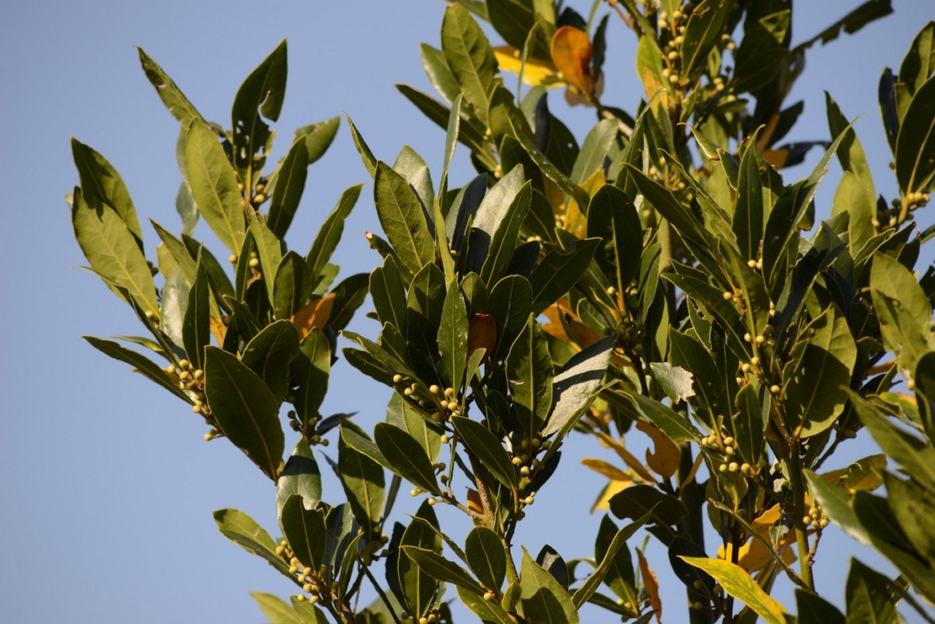 Вечнозеленый лавр: характеристика, основные виды и уход за комнатным растением