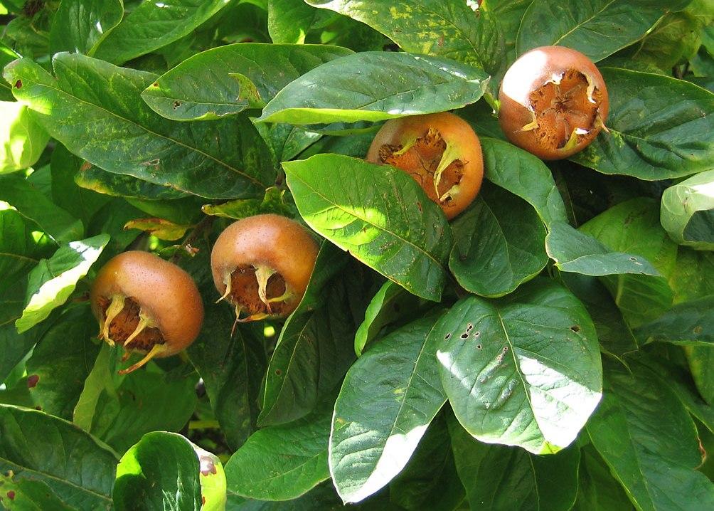 Экзотическая мушмула: описание и фото, виды и свойства. Выращивание в домашних условиях и саду