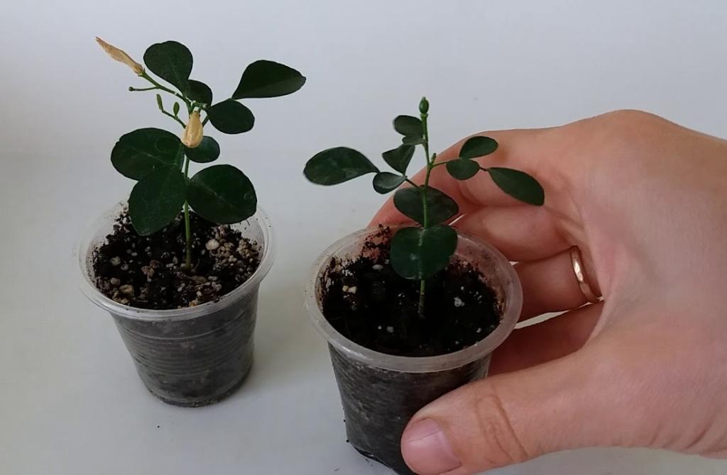 Красивые и полезные растения рода Мурайя: уход за цветком в домашних условиях, фото, описание видов и сортов