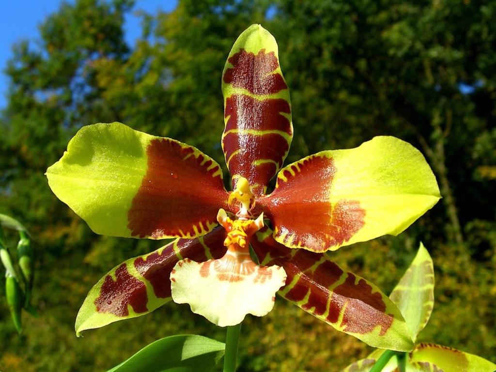 Изящный Одонтоглоссум: характеристика и виды орхидеи, нюансы ухода за ней в домашних условиях