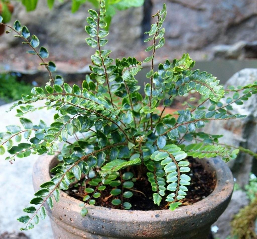 Древнейшее растение — папоротник: описание популярных комнатных и садовых видов. Похожие цветы и деревья