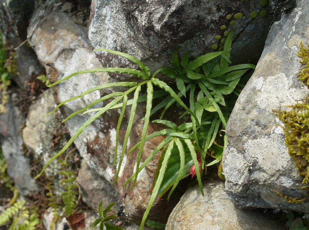 Папоротники рода Птерис: уход за экзотическими растениями в домашних условиях, виды и сорта