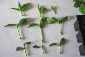 Жасмин кустарник (чубушник)- посадка и уход в открытом грунте, размножение