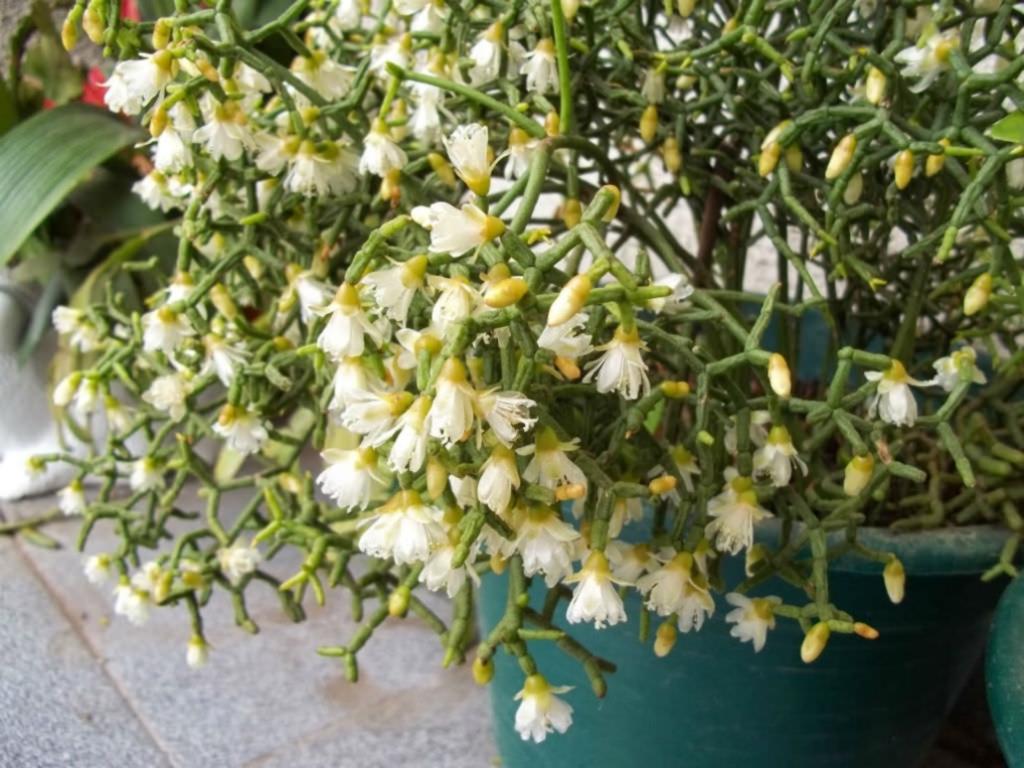 Пушистый эпифит — рипсалис: выращивание и уход, виды и сорта