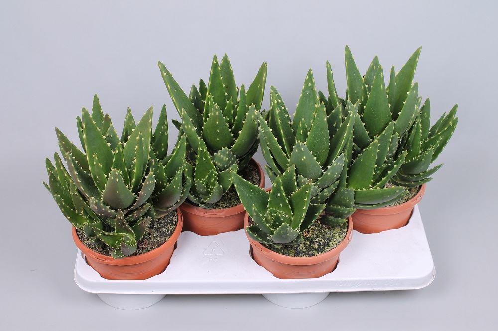 Популярное комнатное растение — алоэ: описание, выращивание и уход. Видовое разнообразие