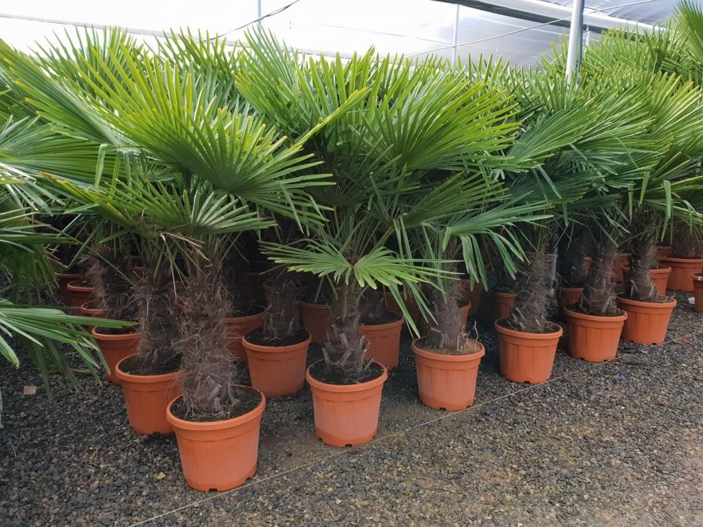 Раскидистая пальма — вашингтония: уход, виды, особенности и выращивание