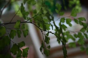 Папоротники тропических лесов рода Адиантум: особенности культуры, виды и уход за цветком в домашних условиях