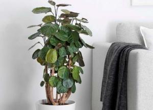 Экзотический цветок полисциас: фото, виды, выращивание и уход в домашних условиях