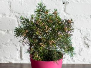 Удивительно красивый цветок — хамелациум: характеристика, виды и уход в домашних условиях