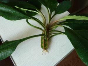 Из одного растения сделать несколько: как размножить молочай? Пересадка и уход