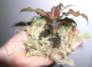 Земляные звезды растений рода Криптантус: характеристика, уход в домашних условиях, виды