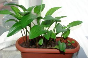 Яркая зелень Дримиопсиса в квартире. Особенности ухода и размножение цветка, его виды