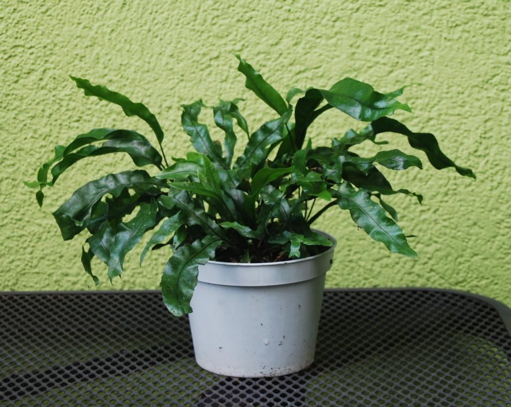 Необычное растение — микросорум: описание, уход и виды