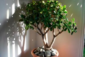 Денежное дерево- уход в домашних условиях, цветение, пересадка, размножение, фото