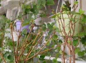 Что за растение фуксия, и каковы особенности ее зимовки в квартире? Правила ухода