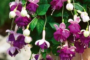 Описание красотки фуксии. Выращивание цветка и уход за ним