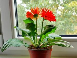 Как выращивать герберу в домашних условиях: уход и пересадка, способы размножения, основные проблемы