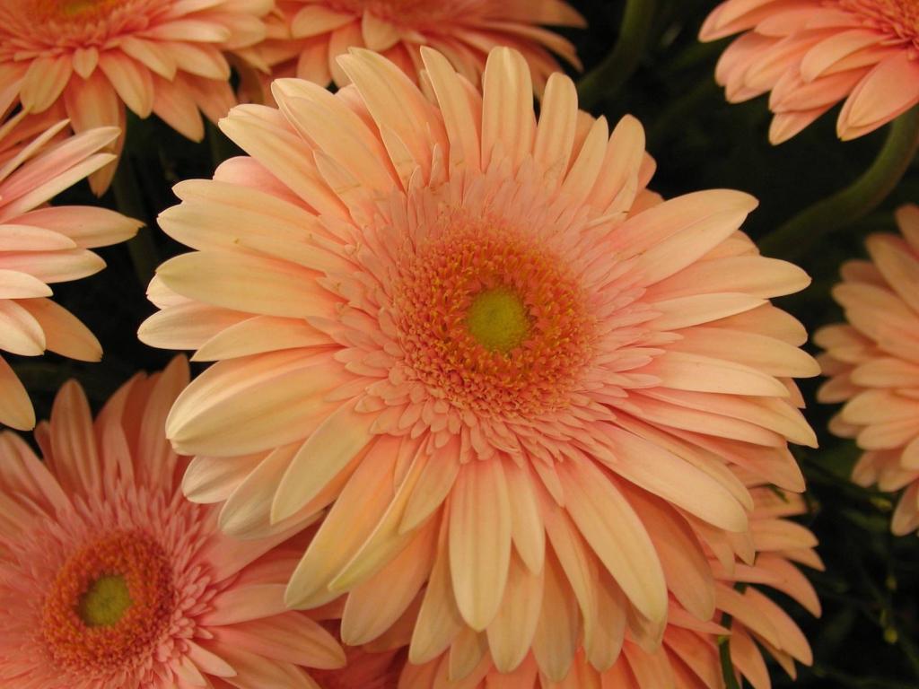 «Африканская ромашка» или цветок гербера: какие есть виды и сорта, как выглядит растение?