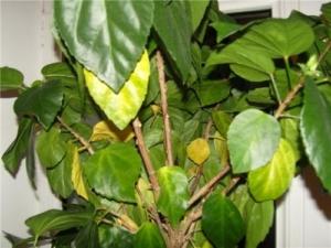 Почему у комнатного гибискуса желтеют и опадают листья? Как решить проблему?