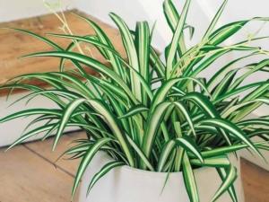 Стоит ли держать хлорофитум дома: польза и вред растения и приметы, связанные с цветком