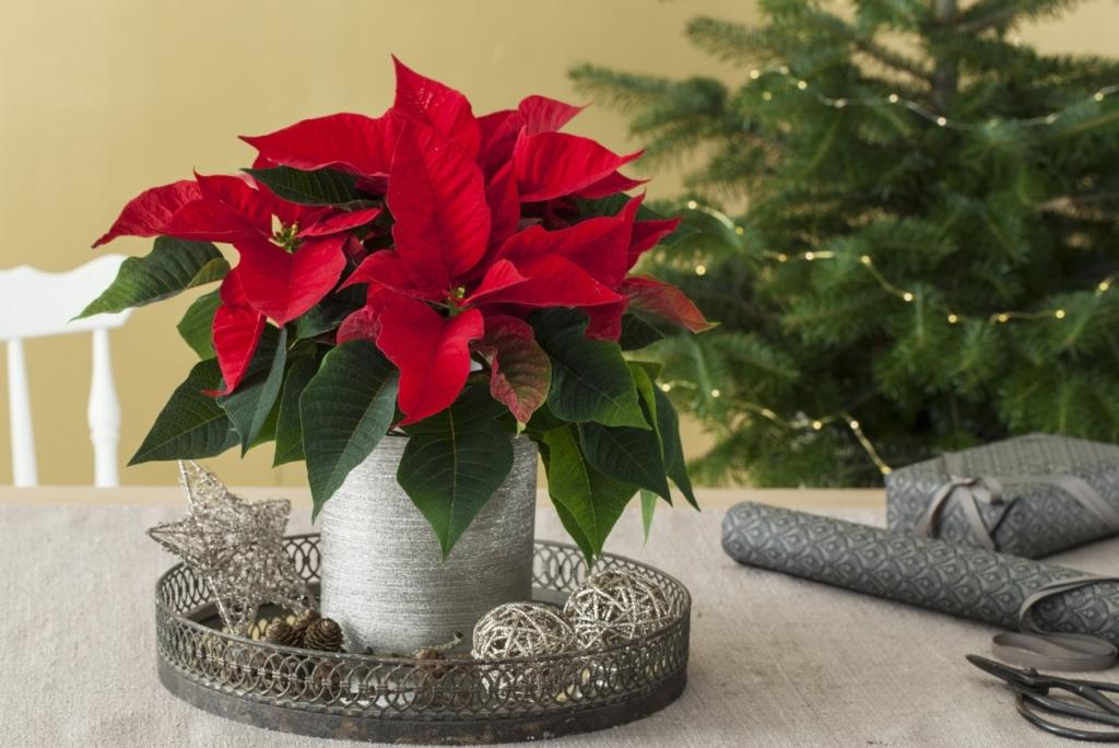 5 популярных разновидностей комнатного молочая. Как вырастить цветок в домашних условиях?