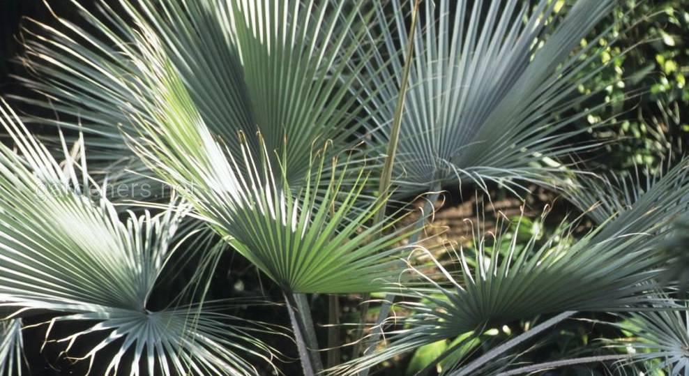 Экзотические пальмы рода Брахея: характеристика культуры, виды и уход за растением в домашних условиях