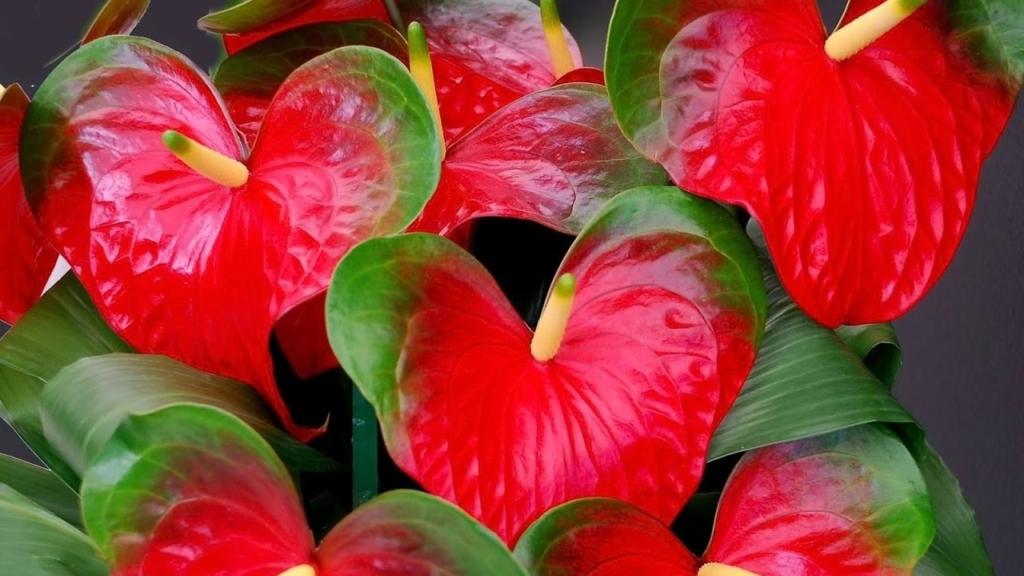 Экстравагантный антуриум с красными и иными цветами: описание, виды, уход в домашних условиях