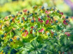 Идеальное растение — молочай кипарисовый: описание культуры, нюансы посадки, размножения и ухода